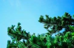 spruce Arkivfoto