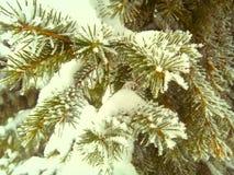 spruce Arkivbild
