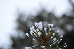 spruce Imagem de Stock Royalty Free