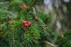spruce Fotografia de Stock Royalty Free