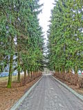 Spruce alley Royalty Free Stock Photo