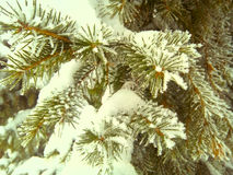 Spruce. Amazing paint Russian spruce.I love eating in winter, on the eve of the new year. rnrnWinter, white, gray, background, green, fir, fir tree, under the stock photography