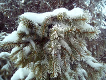 Spruce. Amazing paint Russian spruce.I love eating in winter, on the eve of the new year. rnrnWinter, white, gray, background, green, fir, fir tree, under the royalty free stock image