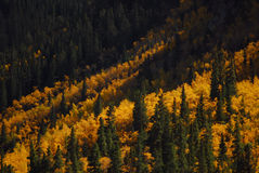 Spruce and Aspen. Colorado and the beauty of Golden Aspen and spruce Stock Image