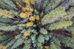 Spruce and aspen trees from above. Spruce and aspen in fall colors at Kenosha Pass in Colorado`s Rocky Mountains, aerial view with wide angle perspective royalty free stock photos
