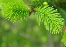 spruce,  background Stock Photos
