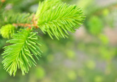 Spruce,  background Royalty Free Stock Photos