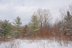 Spruce and bare trees and shrubs in the snow in Gatineau park, Quebec. Forest landscape with spruce and bare trees and shrubs in the snow on a grey cold winter royalty free stock images