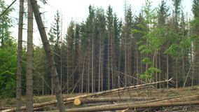 Spruce bark beetle pest Ips typographus, spruce forests infested drought, attacked by the European clear cut calamity