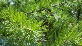Ель - Spruce. Beautiful green branches of spruce stock image