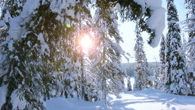 Spruce Bent under the Weight of Snow stock video footage