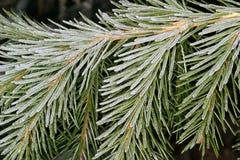 Spruce bereift Stockbild
