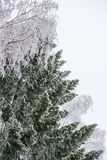 Spruce and birch branches covered with hoarfrost Royalty Free Stock Image