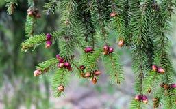 Spruce blühen Stockfotografie
