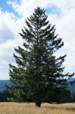 Spruce in the Black Forest Royalty Free Stock Photo