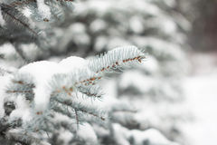 Spruce. Blue spruce covered with snow Royalty Free Stock Photo