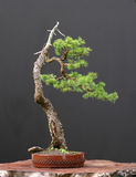 Spruce bonsai Stock Photography