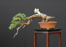 Spruce bonsai cascade Stock Image