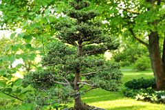Spruce bonsai Royalty Free Stock Photos