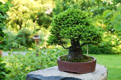 Spruce bonsai royalty free stock images