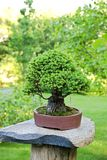 Spruce bonsai Royalty Free Stock Photo