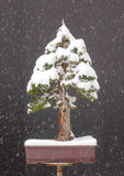 Spruce bonsai with snow Royalty Free Stock Photo