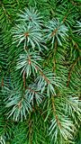 Spruce boughs with droplets of morning dew as background and texture. Background of spruce branches with the needles showing droplets of early morning dew Stock Image