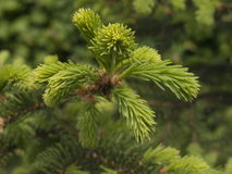 Spruce boughs. New spruce boughs in the park Stock Image
