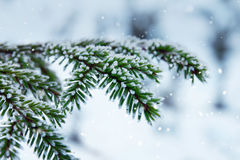 Spruce brances on snowfall winter background Stock Image