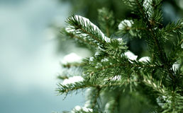 Spruce branch Stock Image