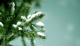 Spruce branch Stock Photo