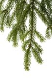 Spruce branch. A branch of spruce, isolated on white Stock Photography