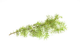 Spruce branch Stock Image