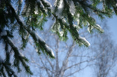 Spruce branch on a background of blue sky in winter Royalty Free Stock Photos