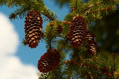 Spruce branch with big cones. On it on blue sky background Royalty Free Stock Photography