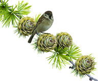Spruce branch and a bird Royalty Free Stock Photography