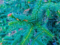 Spruce. Spruce branch of blue color. Macro Royalty Free Stock Image