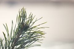 Spruce branch on a bright Sunny background. new year mood stock image