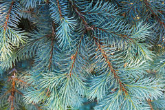 Spruce branch close up. Royalty Free Stock Photo
