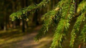 Spruce branch closeup in beautiful vibrant saturated sunset in the forest. Spruce branch closeup in sunset stock footage