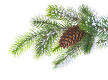 Spruce branch with cone. On a white background Stock Photography