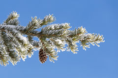 Spruce branch with cone Royalty Free Stock Photography