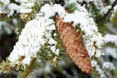 Spruce branch with cone stock photo