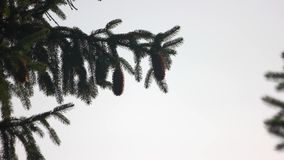Spruce branch with cones on clear sky background. Fir tree branch. Space for text stock footage