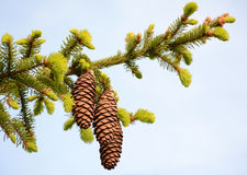 Spruce branch with cones Stock Photos