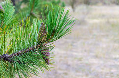 Spruce branch with cones. In the forest stock images