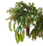 Spruce branch with cones isolated Stock Image