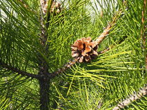 Spruce branch with cones Royalty Free Stock Photo