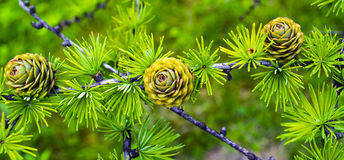 Spruce branch with cones Royalty Free Stock Image
