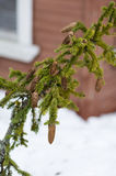 Spruce branch with cones. Branch with cones in the snow Stock Images